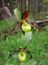 Cypripedium calceolus - Frauenschuh